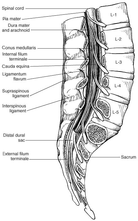 Dural sac anatomy
